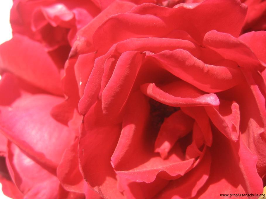 rosenblc3bcte.jpg